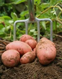 Mourne Veg potatoes
